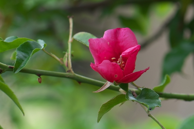 Rosa.chinensis Spontanea-01