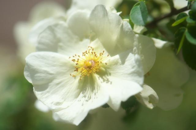 Rosa hugonis-04