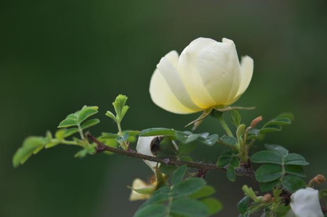 Rosa.hugonis-02
