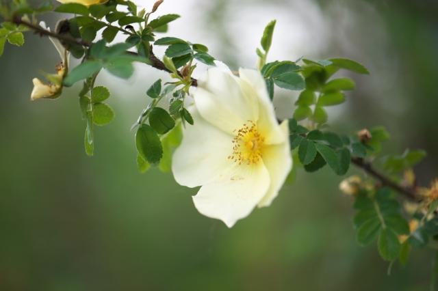 Rosa.hugonis-03
