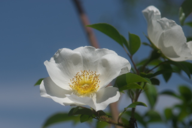 Rosa.laevigata-04