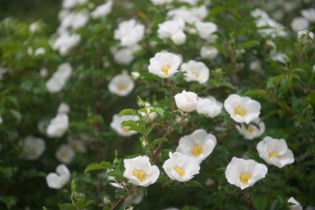 Rosa.laevigata(ナニワイバラ)-04