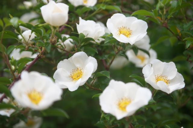 Rosa.laevigata(ナニワイバラ)-05