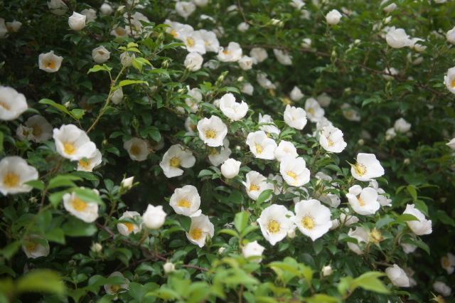 Rosa.laevigata(ナニワイバラ)-03