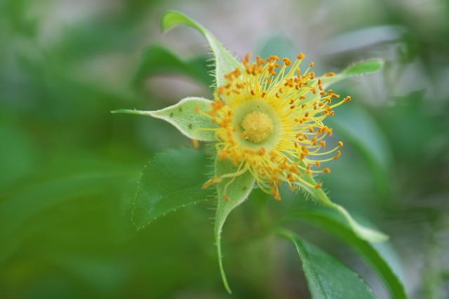 Rosa.laevigata(ナニワイバラ)しべと萼-02