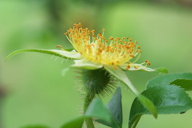Rosa.laevigata(ナニワイバラ)しべと萼-03