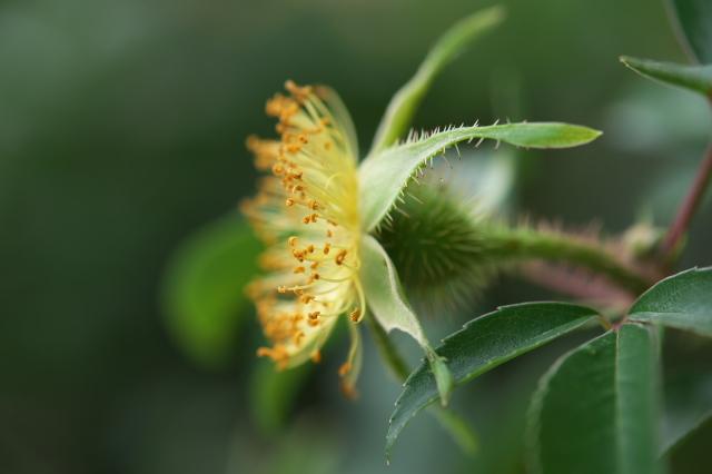 Rosa.laevigata(ナニワイバラ)しべと萼-05