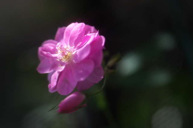 Rosa.palustris 'plena -02