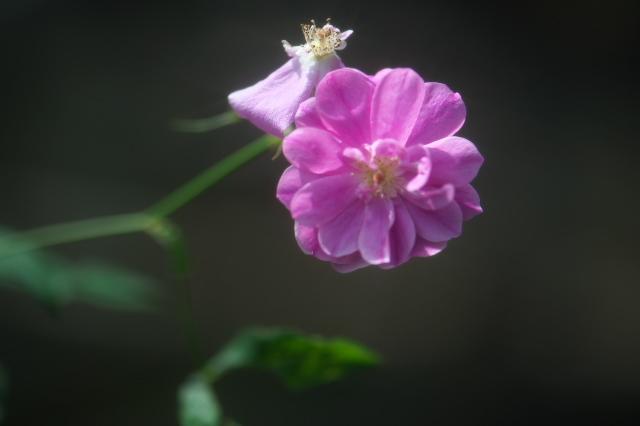 Rosa.palustris 'plena '