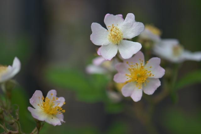 Rosa.sinowilsonii 実生-03