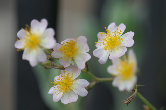 Rosa.sinowilsonii 実生-04