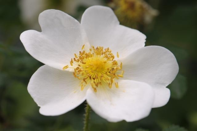 Rosa spinosissima Altaica-02