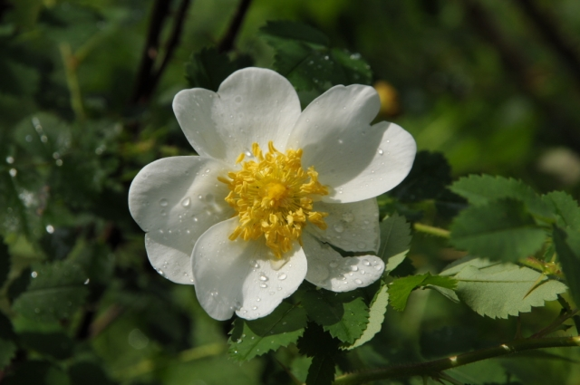 Rosa spinosissima Altaica-01