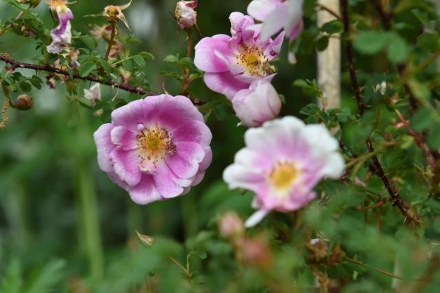Rosa.spinosissima bicolor-03
