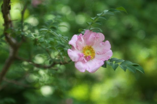 八重咲きサンショウバラ(Rosa roxburghii f.normalis)-01