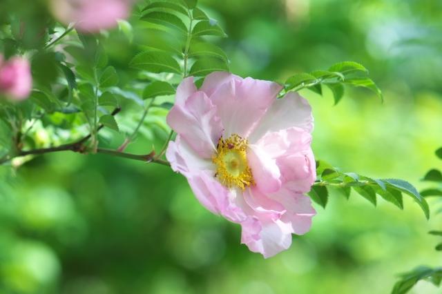 八重咲きサンショウバラ(Rosa roxburghii f.normalis)-02