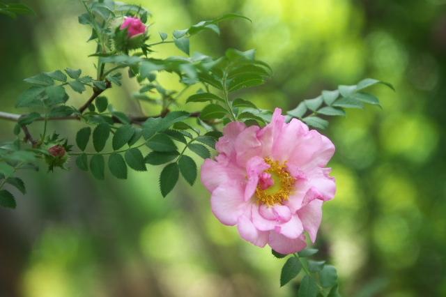 八重咲きサンショウバラ(Rosa roxburghii f.normalis)-03