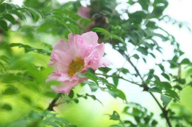 八重咲きサンショウバラ(Rosa roxburghii f.normalis)-04