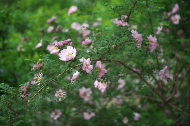八重咲きサンショウバラ(Rosa roxburghii f.normalis)-05