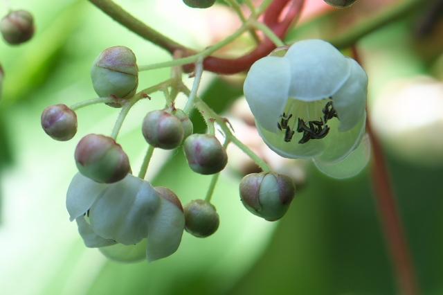 サルナシの花-03