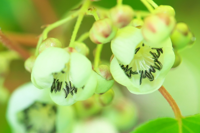 サルナシの花-05