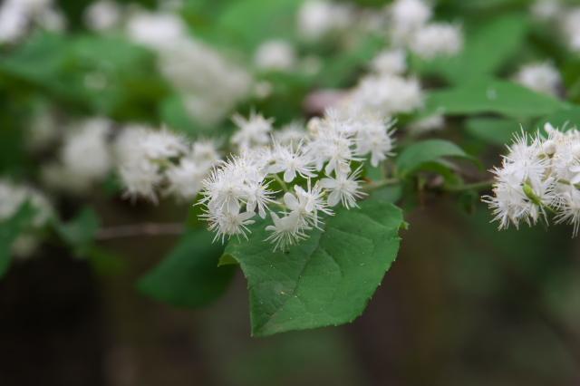 サワフタギの白い小花-03