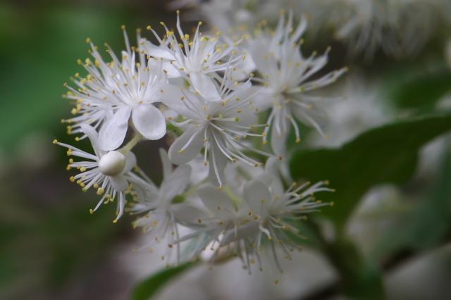 サワフタギの白い小花-01