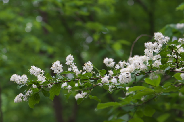 サワフタギの白い小花-04