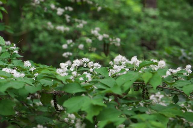 サワフタギの白い小花-05