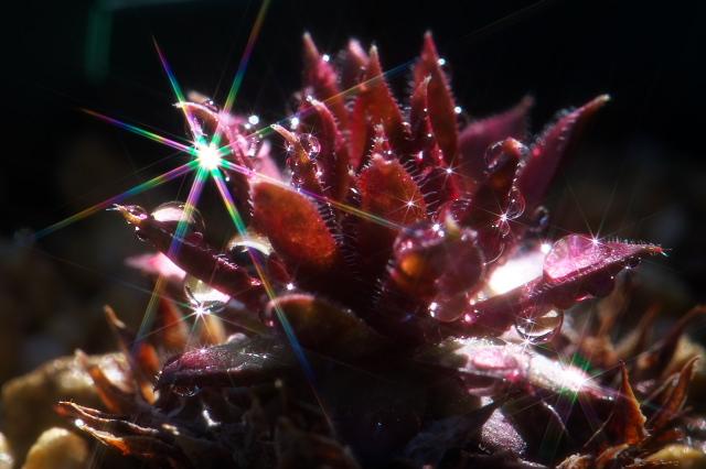 Sempervivum Royal Rubby-01