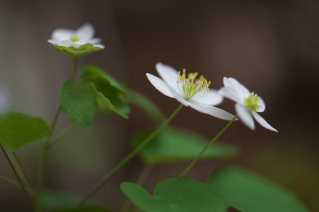 白花バイカカラマツ-04