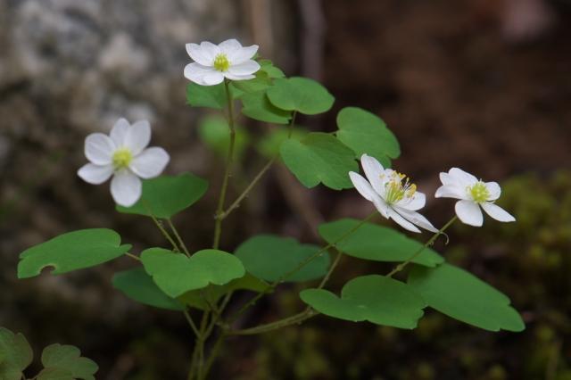 白花バイカカラマツ-01