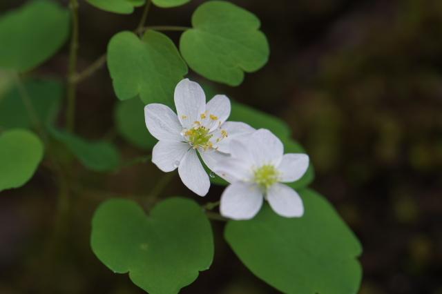 白花バイカカラマツ-02