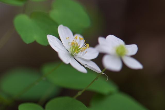 白花バイカカラマツ-03