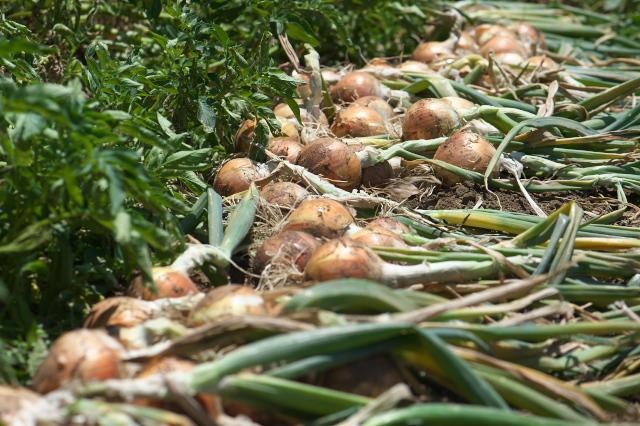 玉ねぎの収穫-01