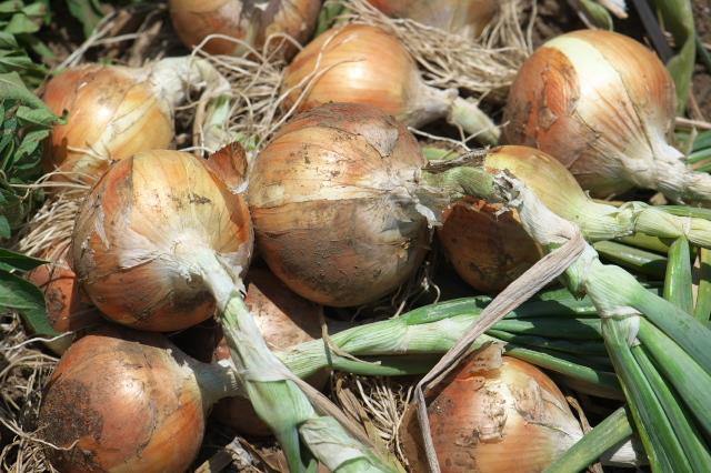 玉ねぎの収穫-03