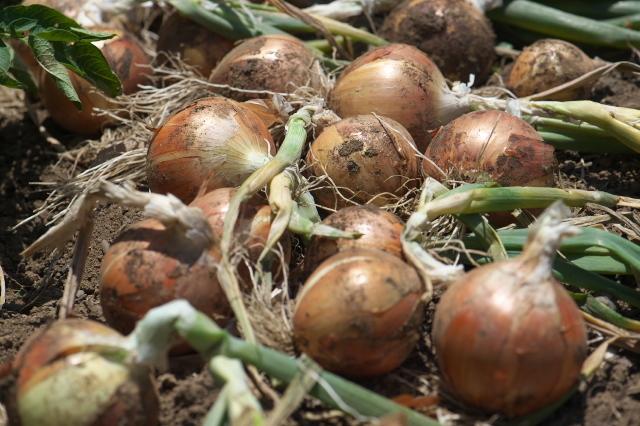 玉ねぎの収穫-02