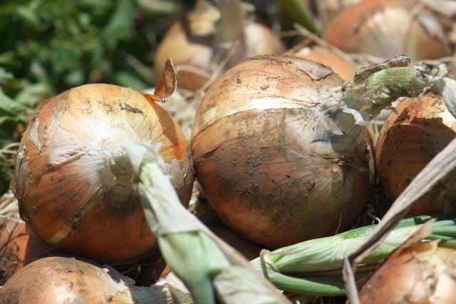 玉ねぎの収穫-04