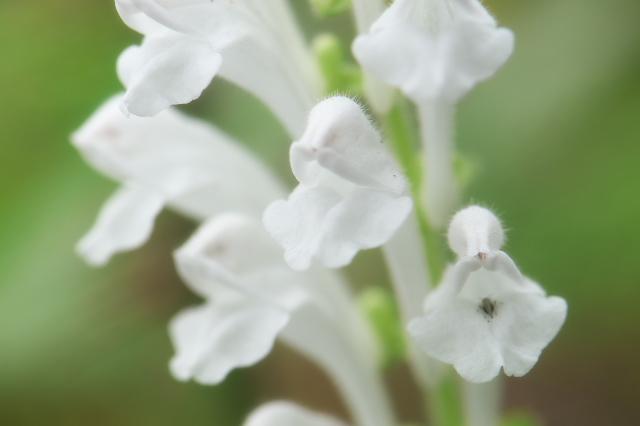 白花のタツナミソウ-01