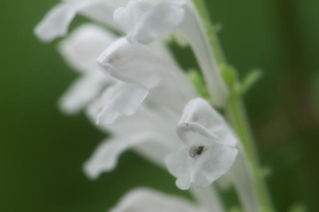白花のタツナミソウ-02