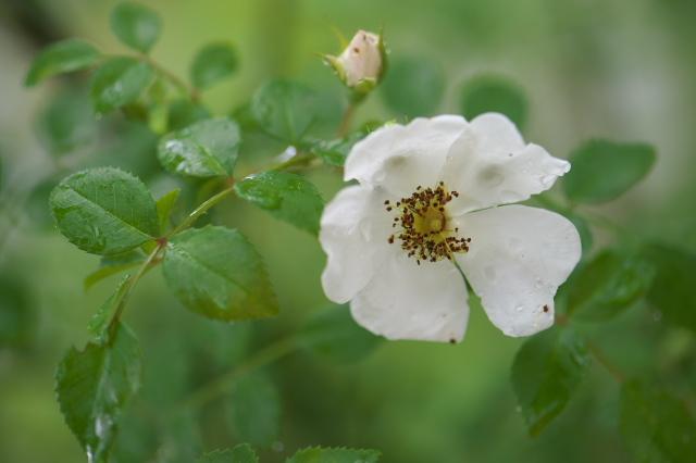 照り葉ノイバラ(Rosa luciae)-04