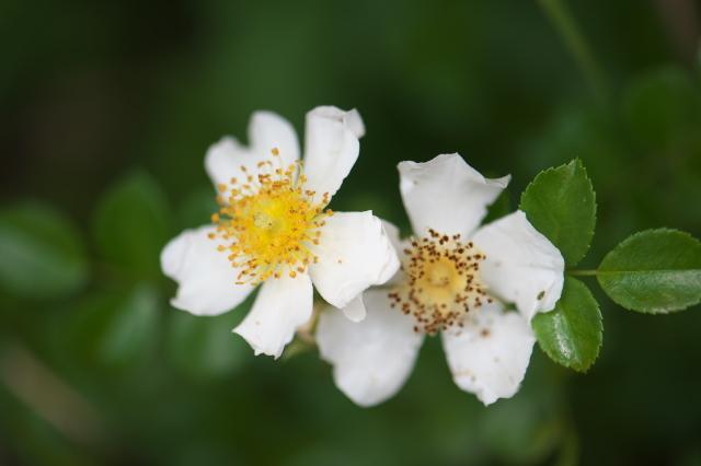照り葉ノイバラ(Rosa luciae)-02