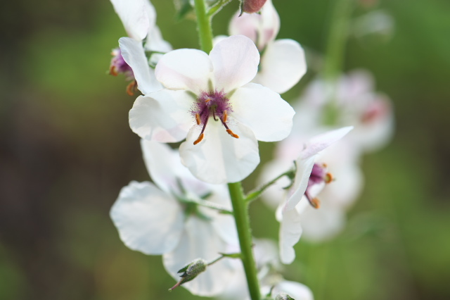 Verbascum Blattaria Albiflorum-02