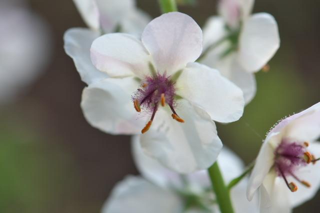 Verbascum Blattaria Albiflorum-04