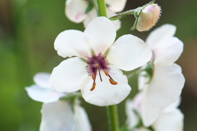 Verbascum Blattaria Albiflorum-03