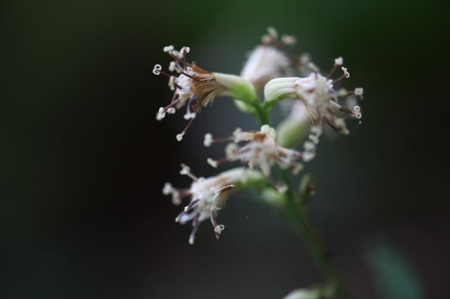 ヤブレガサの花-01