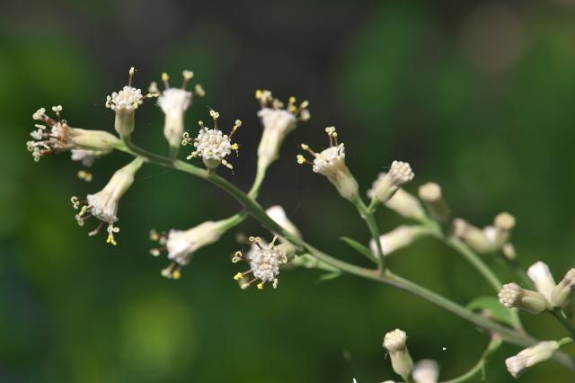 ヤブレガサの花-12