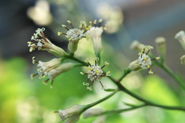 ヤブレガサの花-13