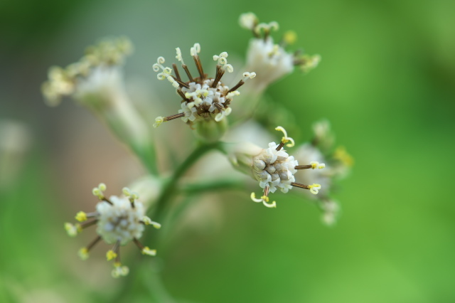 ヤブレガサの花-14