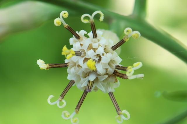 ヤブレガサの花-15